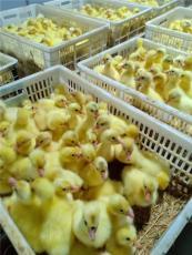涿州鵝苗供應