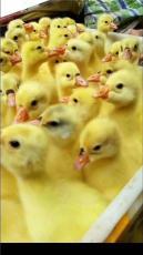 北京鵝苗孵化廠
