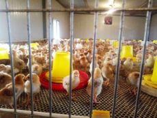 专业养殖九斤红公鸡 红玉公鸡 380公鸡苗