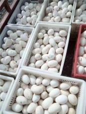 北京供應鵝苗供應