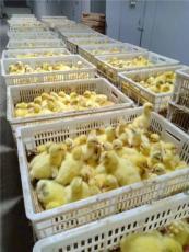 北京鹅苗批发供应