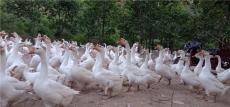 北京供應鵝苗費用