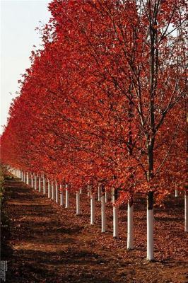 美国红枫成活率高10公分-12公分美国红枫