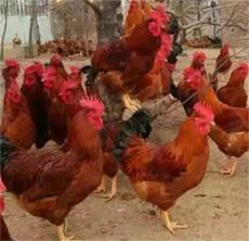九斤红公鸡苗-----山东红羽系列鸡苗诚信销