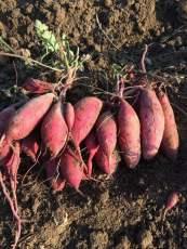 紅薯產地直供發售西瓜紅番薯源頭基地
