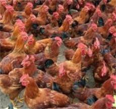 红玉鸡苗---山东红羽系列鸡苗科学育雏