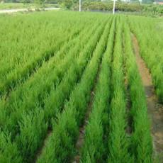 基地直銷多頭龍柏-30公分-40公分龍柏樹苗
