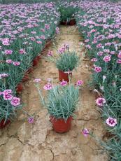 大花石竹种植基地