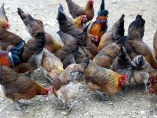 隨州市鴨苗養殖基地哪家強實惠的