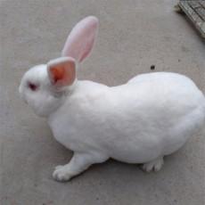 一只比利時種兔一年的利潤種兔可以用幾年