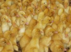 十堰市雞苗供應可信賴的