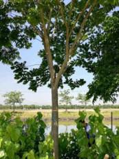 直銷皂角樹苗量大優惠8公分10公分皂角報價