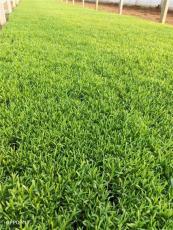 歐石竹穴盤苗種植基地