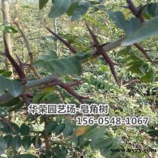 批發皂角樹12公分皂角價格13公分皂角價格