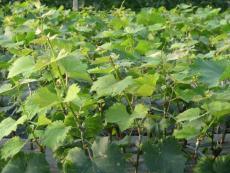 甜蜜藍寶石葡萄苗價格 批發1-3公分的葡萄苗