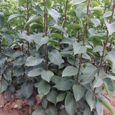 早酥紅梨樹苗價格 基地批發優質梨樹苗