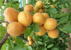 荷蘭香蜜杏樹苗價格 批發1-3公分的優質杏樹