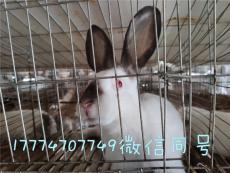 创业养兔永圆繁殖兔免费教技术包回