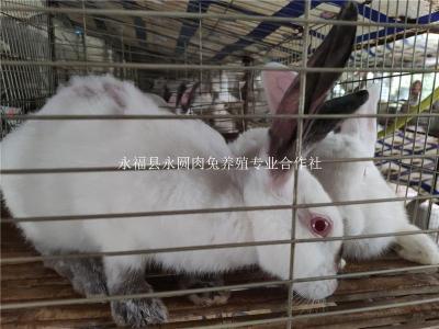 创业养兔选永圆兔13年专业养殖免费教技术
