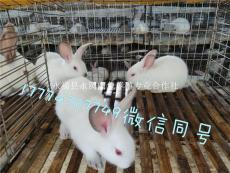 繁殖兔肉兔兔苗提供专业养兔13年