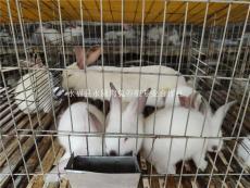 桂林養兔場出售優質公母兔免費教技術上門回