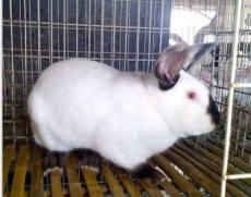 桂林永圆种兔养兔场优质公母兔出售教技术包