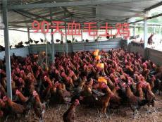 養殖土雞苗烏皮土雞苗供應技術指導