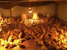土雞苗批發養殖合作養雞送貨上門