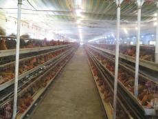 重慶烏皮紅羽土雞苗供應市場 烏皮土雞苗