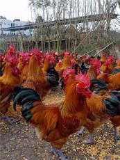 冬季養雞要點土雞苗批發養殖