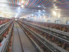 簡陽地區養殖黑紅羽香雞苗供應 求購香雞苗