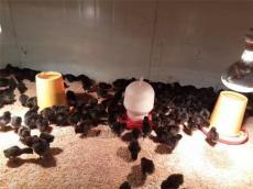 赤水黑烏雞苗 黑雞苗度烏皮土雞苗供應