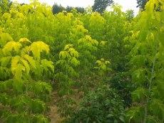 青叶复叶槭小苗价格 复叶槭种植怎么样