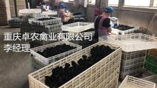 大足黑乌鸡苗市场行情 求购正宗黑鸡苗供应