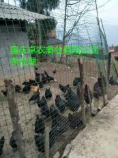 大足黑乌鸡苗批发价格 求购黑乌鸡苗养殖