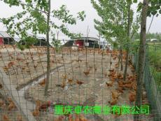 綦江地区黑红羽香鸡苗批发价格 香鸡苗行情