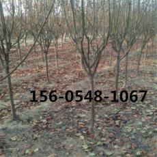 西府海棠樹苗批發17公分18公分西府海棠