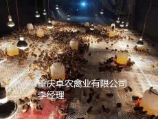 彭水养殖土鸡苗批发价格 求购正宗香鸡苗厂