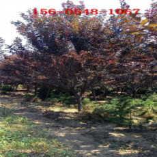 7公分紫葉李-8公分紫葉李9公分10公分紫葉李