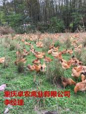 求购务川周边批发青脚红羽土鸡苗厂家电话