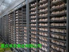 綦江地区养殖大黑瑶鸡苗市场前景好