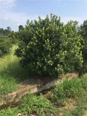 楊梅綠化樹供應10公分800元 金華貨源