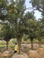 紅桔蜜桔供應 20cm庭院綠化 金華大紅桔產地