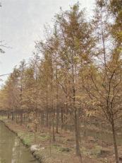 水杉價格 10公分水杉170元千喜苗木苗粗壯