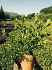 春鵑小苗 杯苗供應 金華千喜苗木約100萬棵