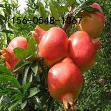 1公分大紅袍石榴苗-1公分突尼斯軟籽石榴苗