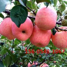 嫁接蘋果苗價格-煙富6號-煙富8號-煙富10