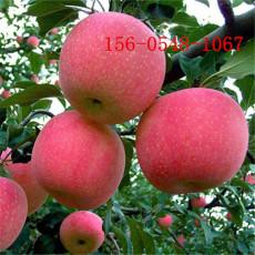 1公分苹果苗价格2公分苹果苗品种