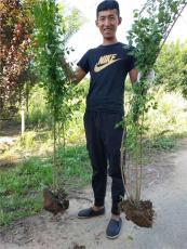 山西1米高連翹苗 現挖現發 澤森苗木