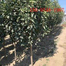 嫁接蘋果苗價格-1公分4公分蘋果苗